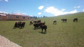 モンゴルで食べられる肉はヤギ、羊、牛、ヤクで、豚は食べないらしいです。