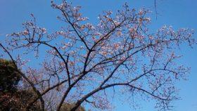 先日上野公園を歩いていたら、もう梅が咲いていました。