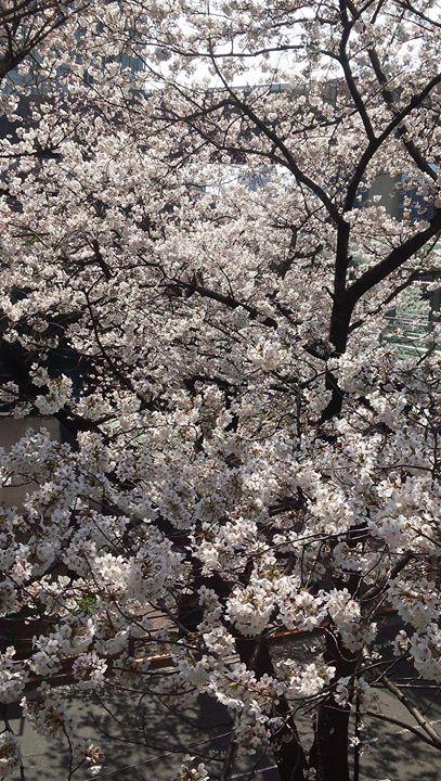 桜はまだ残ってはいますが、かなり散ってきました。
