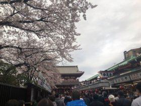 浅草の桜はもうすぐ満開!