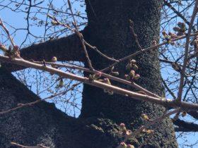 東京はもうすぐ桜の季節。